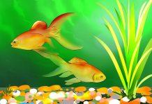 انواع ماهی های قرمز