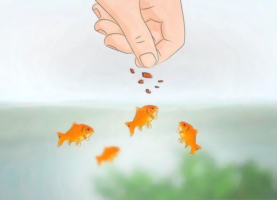 به اندازه کافی به ماهی ها غذا بدهید