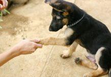 آموزش دست دادن به سگ