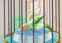 حمام کردن مرغ عشق