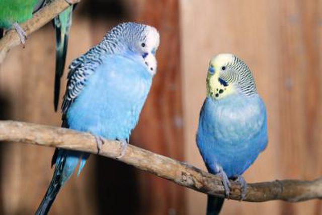 مرغ عشق حامله