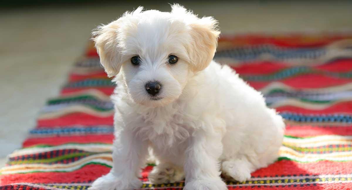 بهترین نوع سگ پا کوتاه برای نگهداری در خانه: Bichon Frise