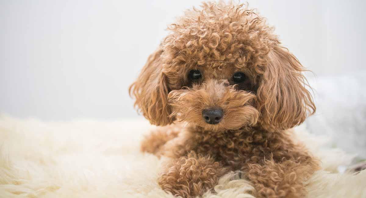 بهترین نژاد سگ خانگی پا کوتاه: Poodle
