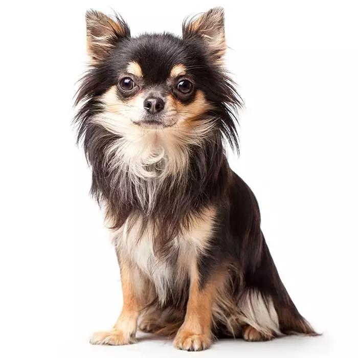 بهترین نوع نژاد سگ خانگی کوچک پا کوتاه: Chihuahua