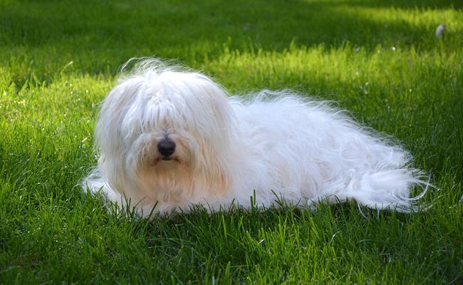 بهترین نژاد سگ خانگی پا کوتاه: Coton de Tulear