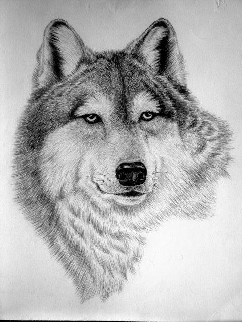 عکس طراحی گرگ با مداد
