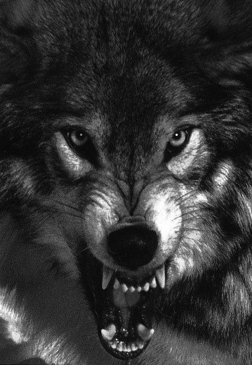 نقاشی زیبا گرگ با مداد با کیفیت خوب