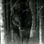 عکس نقاتشی گرگ در جنگل