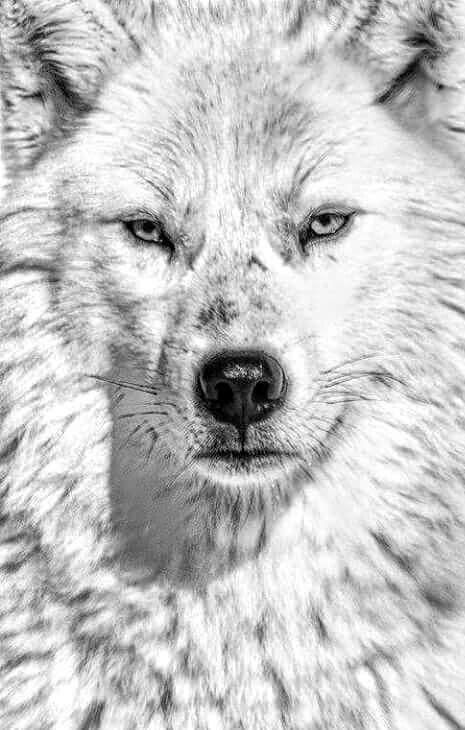 عکس طراحی گرگ سفید با کیفیت بالا برای پس زمینه گوشی