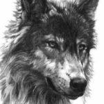 عکس نقاشی گرگ با سیاه قلم با کیفت فول اچ دی