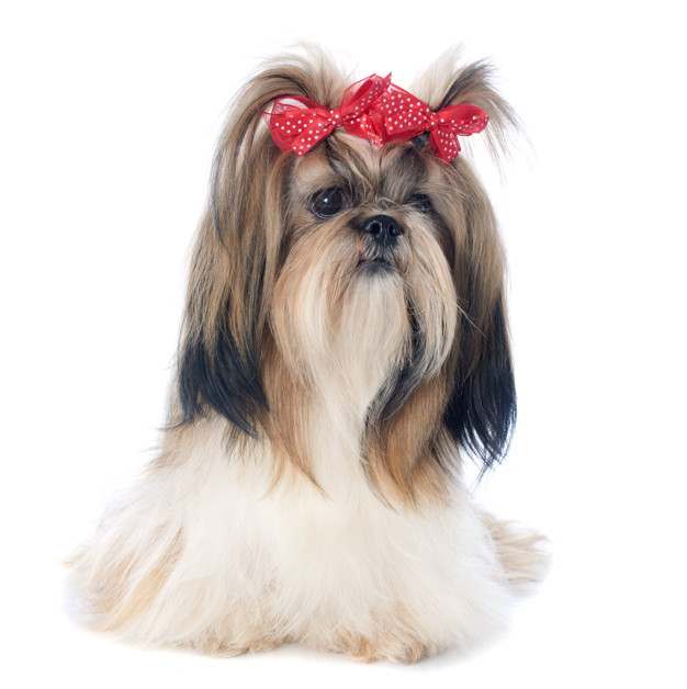 بهترین نژاد سگ خانگی پا کوتاه: سگ شیتزو (Shih Tzu)
