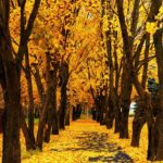 عکس زیبا از برگ های زرد پاییزی برای موبابل