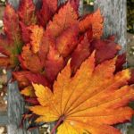 عکس زیبا از برگ های پاییز برای پس زمینه