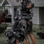 عکس سگ پلیس دوبرمن