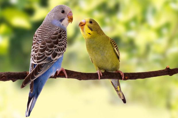 معنی صداها و آوازهای مرغ عشق چیست
