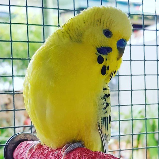 عکس مرغ عکس زرد رنگ بسیار زیبا