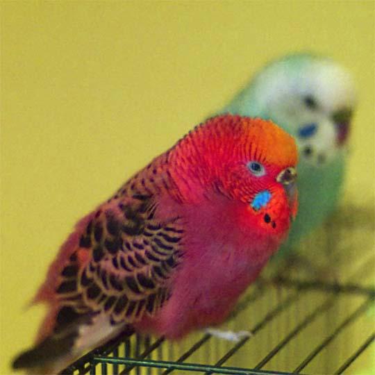 عکس مرغ عشق زیبا به رنگ قرمز