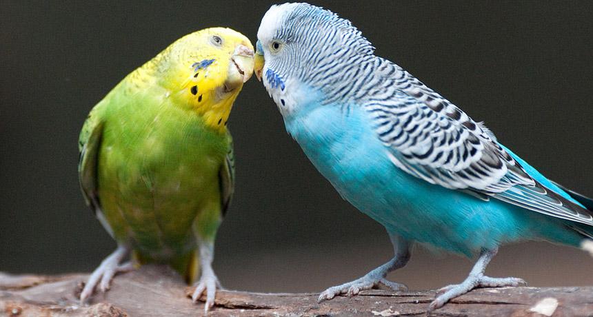 مرغ عشق های زیبا و عاشق