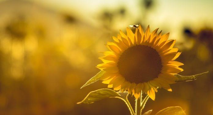 50 بک گراند گل آفتابگردان و عکس پس زمینه گل آفتابگردان برای موبایل
