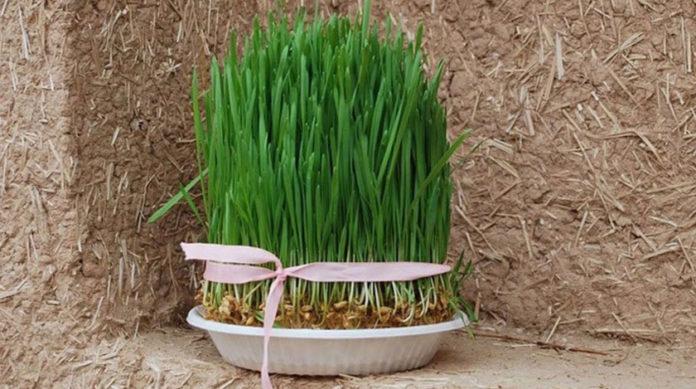 زمان مناسب برای کاشت انواع سبزه عید نوروز