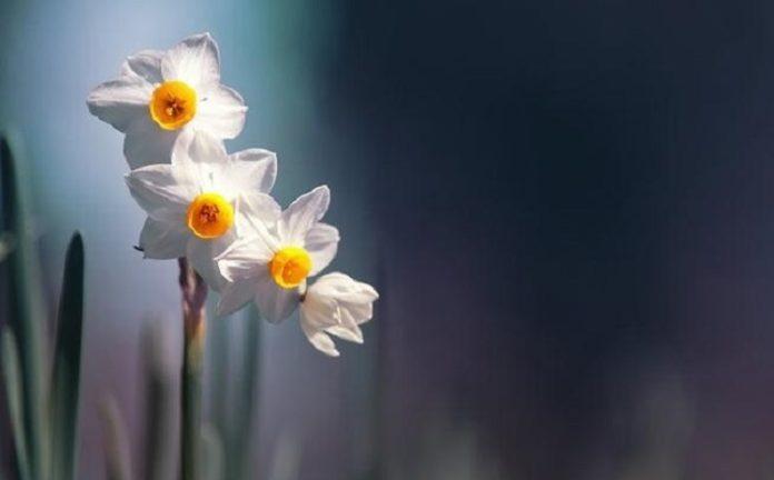 50 عکس گل نرگس باکیفیت برای پروفایل و والپیپر گوشی، فوق العاده و ...