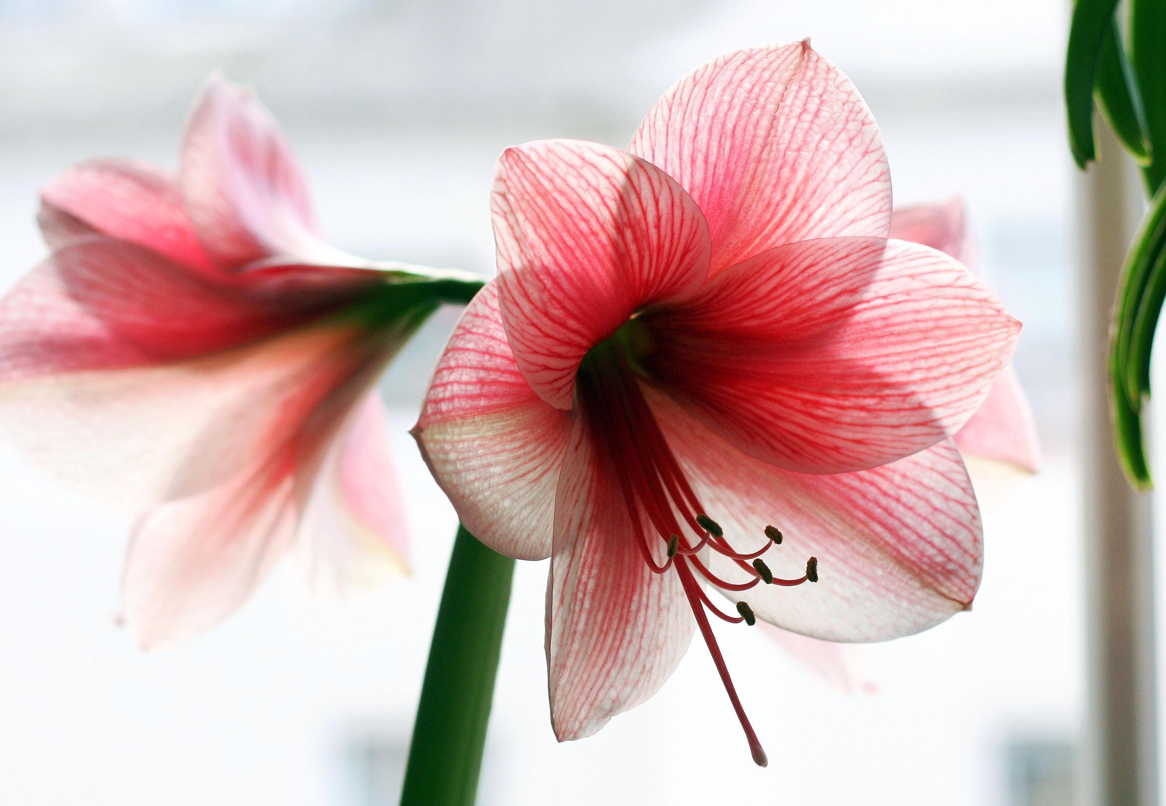 گل اماریلیس