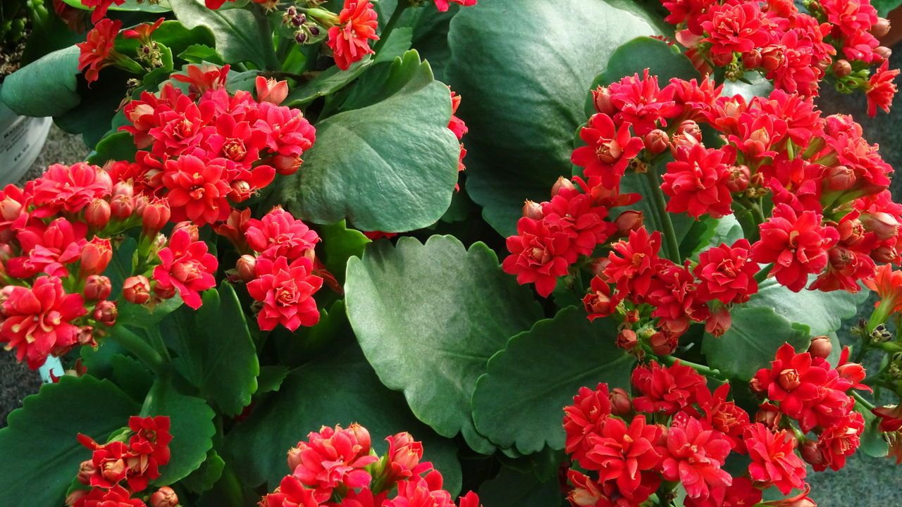 گل کالانکوئا