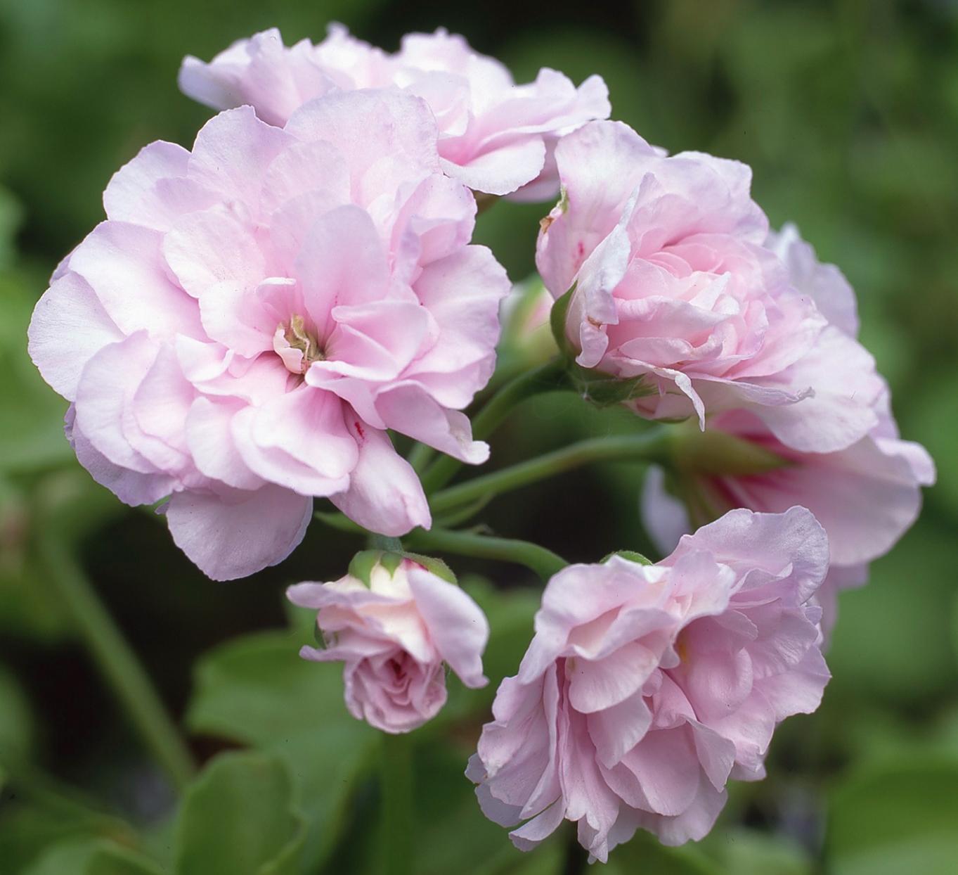 گل ژرانیوم