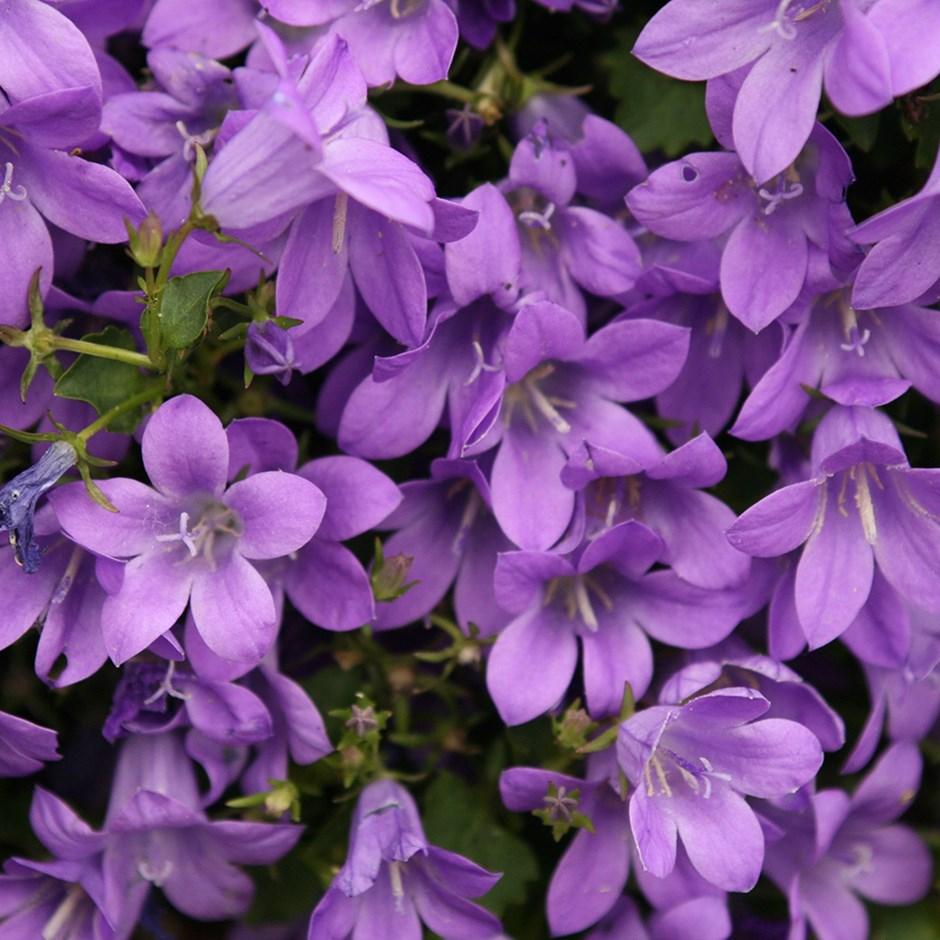 گل استکانی