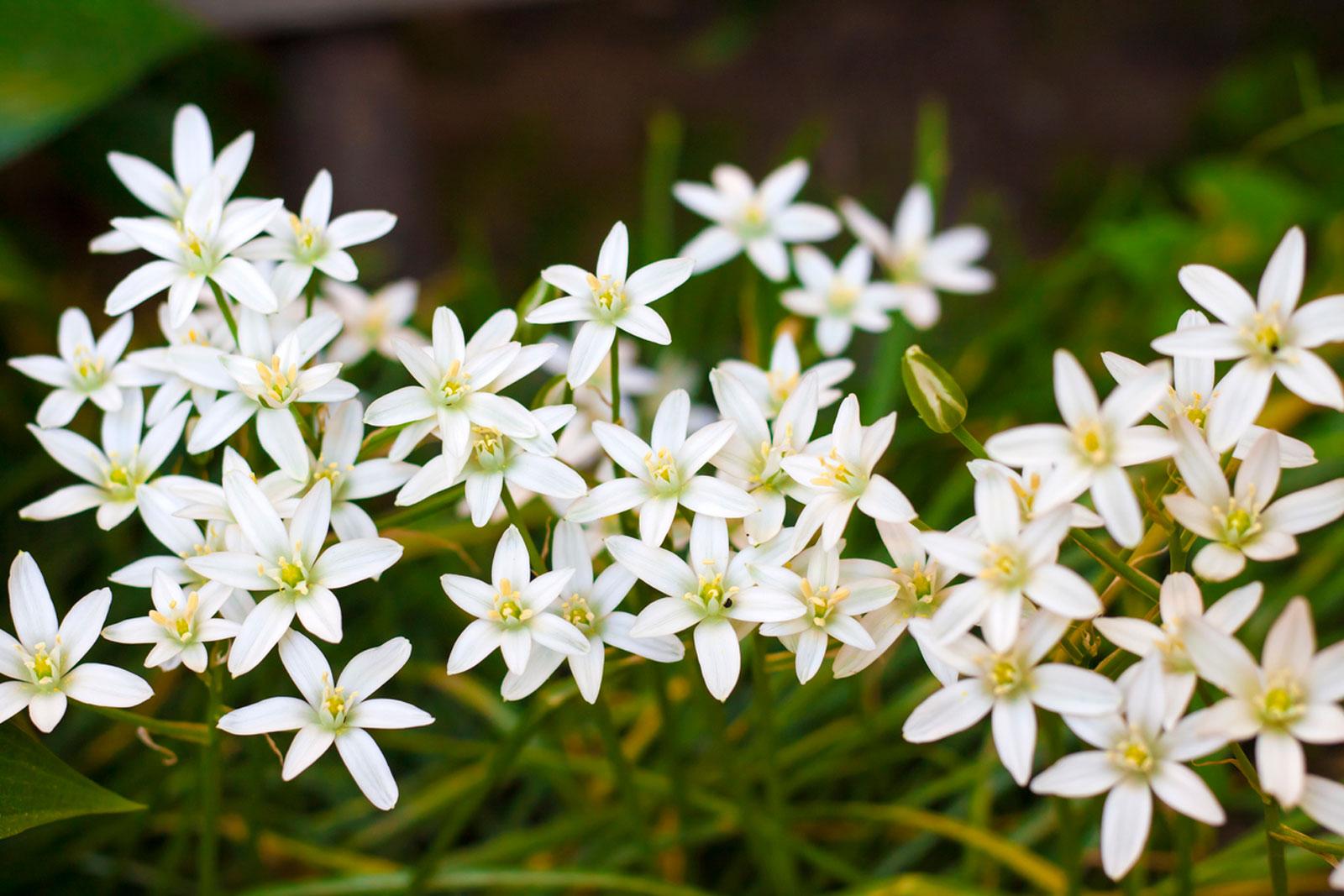 گل ستاره