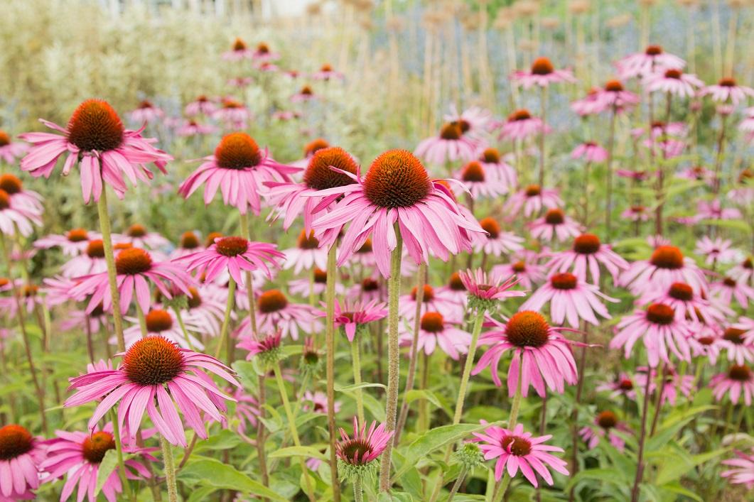 گیاه سرخارگل دارای خواص قدرتمند برای بهوبد تبخال میباشد