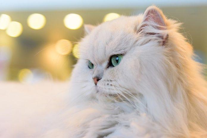 اسم گربه ایرانی و فارسی برای گربه دختر و پسر