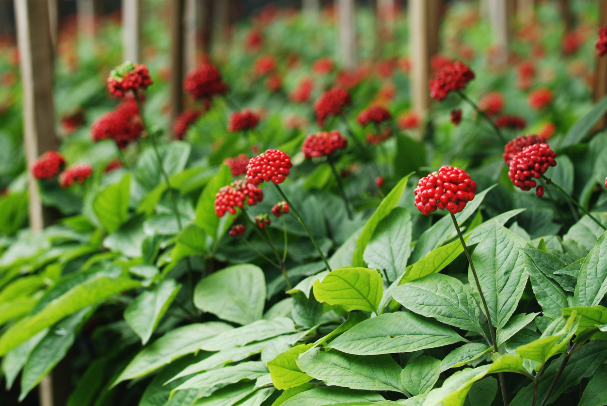 تصویر گیاه جینسینگ