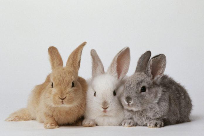 روش آموزش دستشویی به خرگوش ها که نگهداری آنها را راحت تر می کند