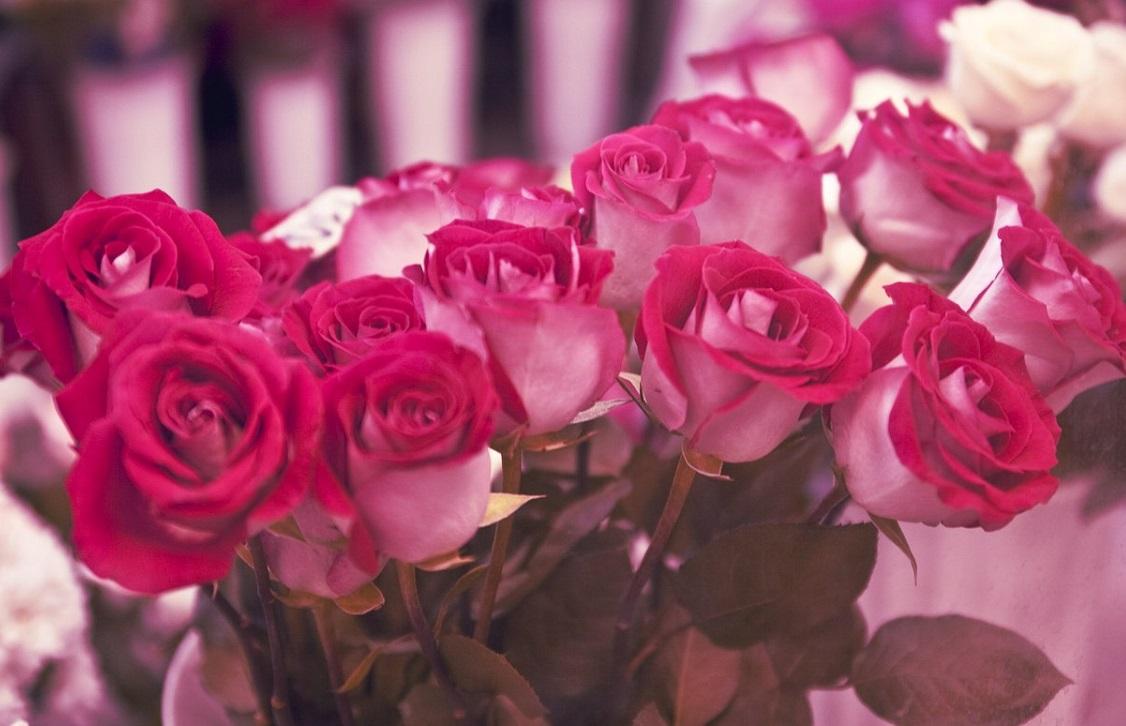 گل رز صورتی نشانه چیست