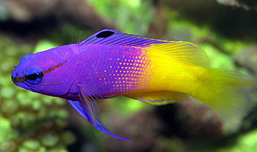 گرانترین ماهی آکواریومی جهان