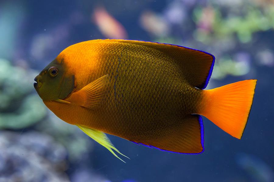 CLARION ANGELFISH گرانترین ماهی آکواریوم جهان