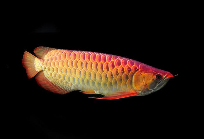 گرانترین ماهی آکواریومی جهان چه قیمتی دارد؟ 10 ماهی گران قیمت همراه تصاویر