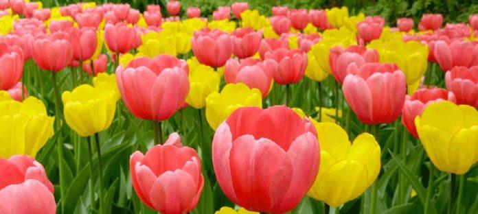 متن زیبا درباره گل لاله
