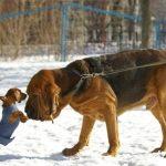 عکسهای زیبا از سگ بلادهاند
